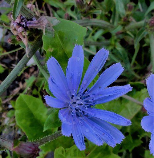 die blau blühende Wegwarte ist eine uralte Schutz- und Heilpflanzeeine
