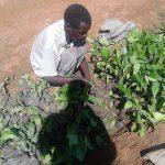 Setzlinge für die Kaffeeplantage werden gepflanzt